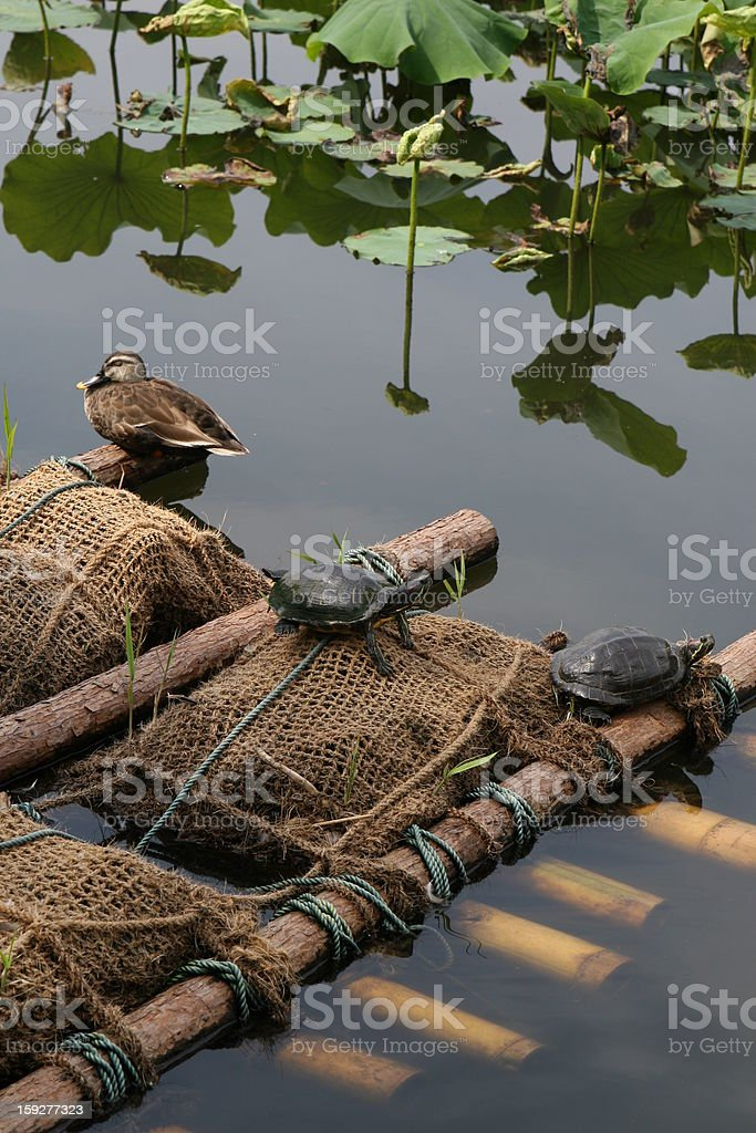 turtle and duck royalty-free stock photo