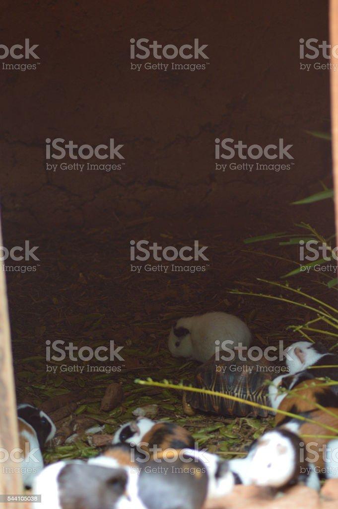 Tortue et cochon d'inde stock photo
