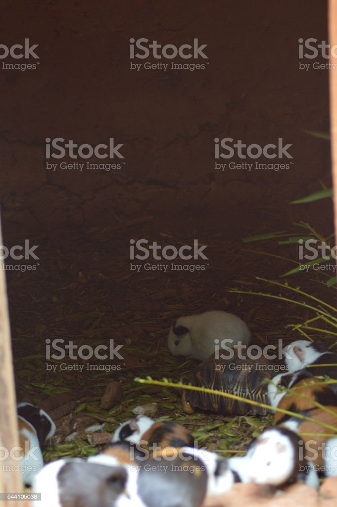 Tortue et cochon d'inde stock photo