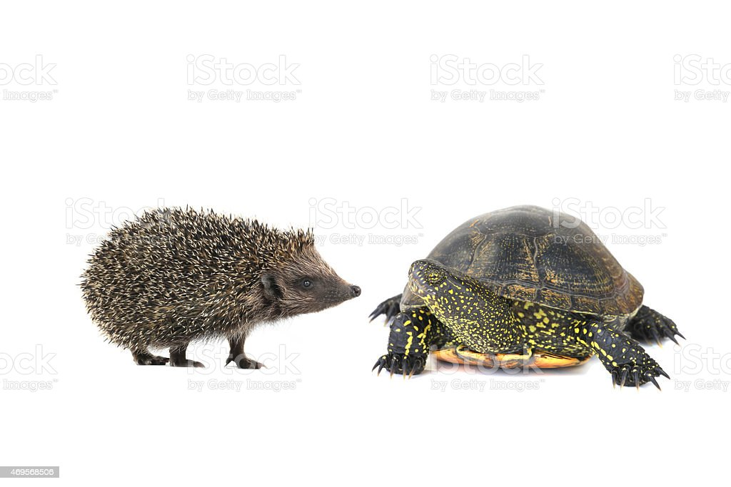 turtle and hedgehog stock photo