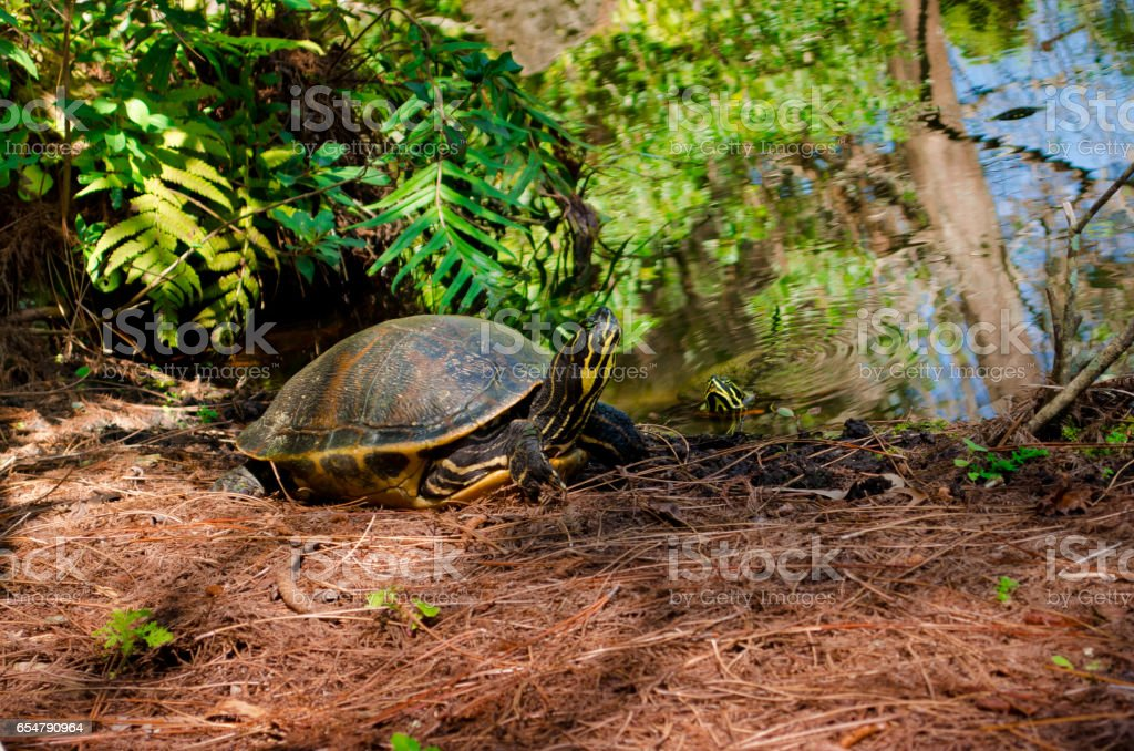 Turtle and pond. stock photo