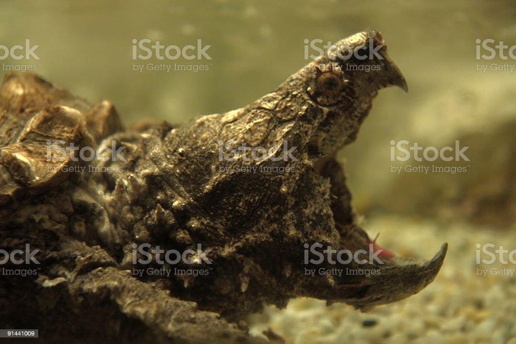 turtle attack stock photo