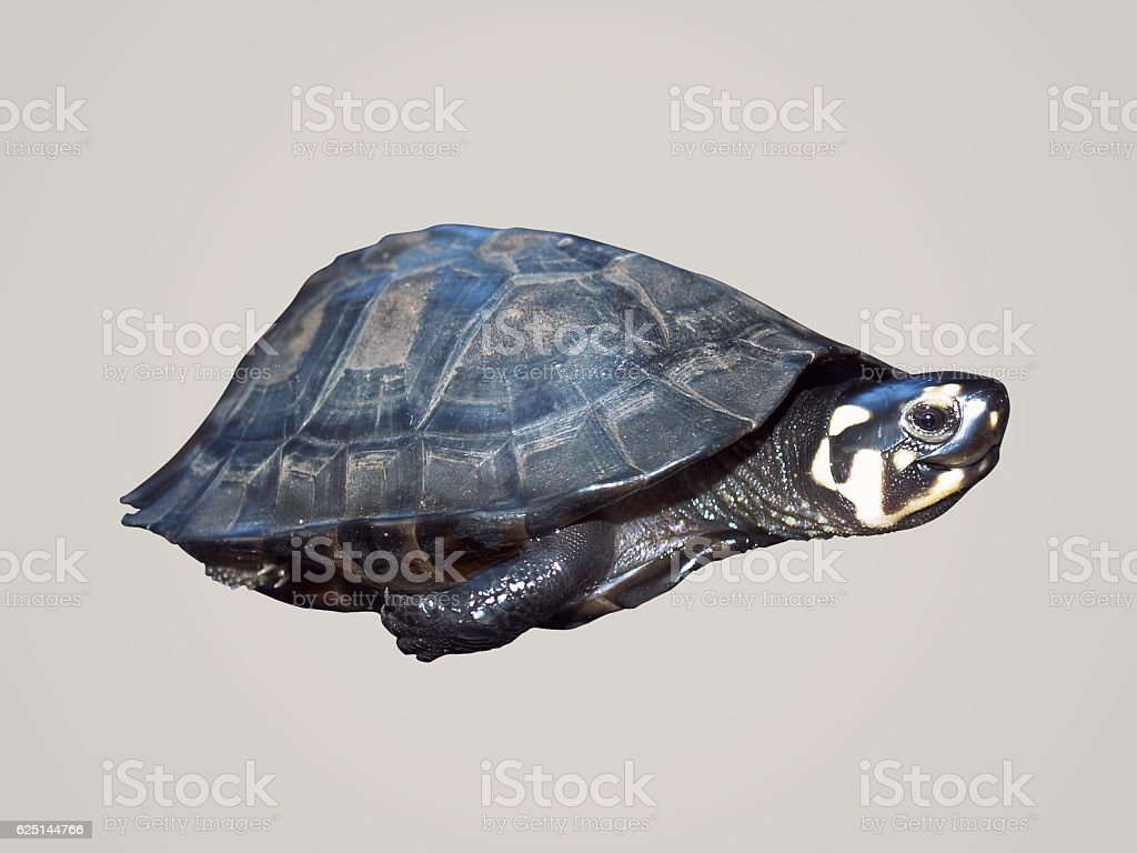 Turtle baby in white background stock photo