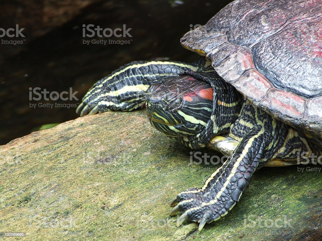 Turtle basking in the sun stock photo