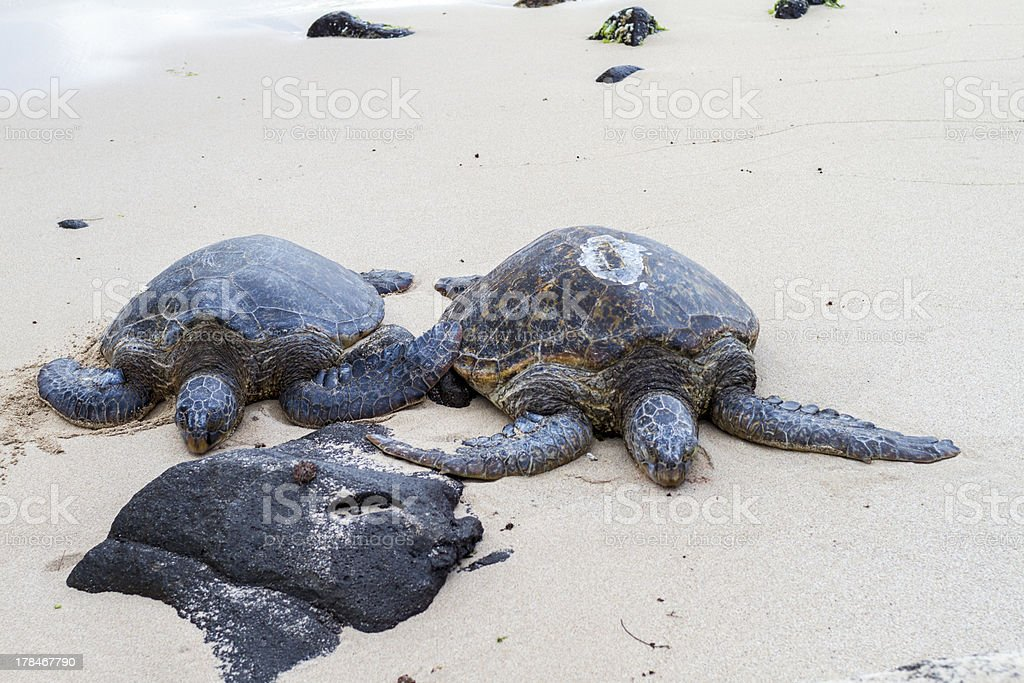 turtle beach Oahu Hawaii stock photo