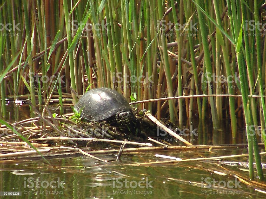 Turtle beside the reed stock photo