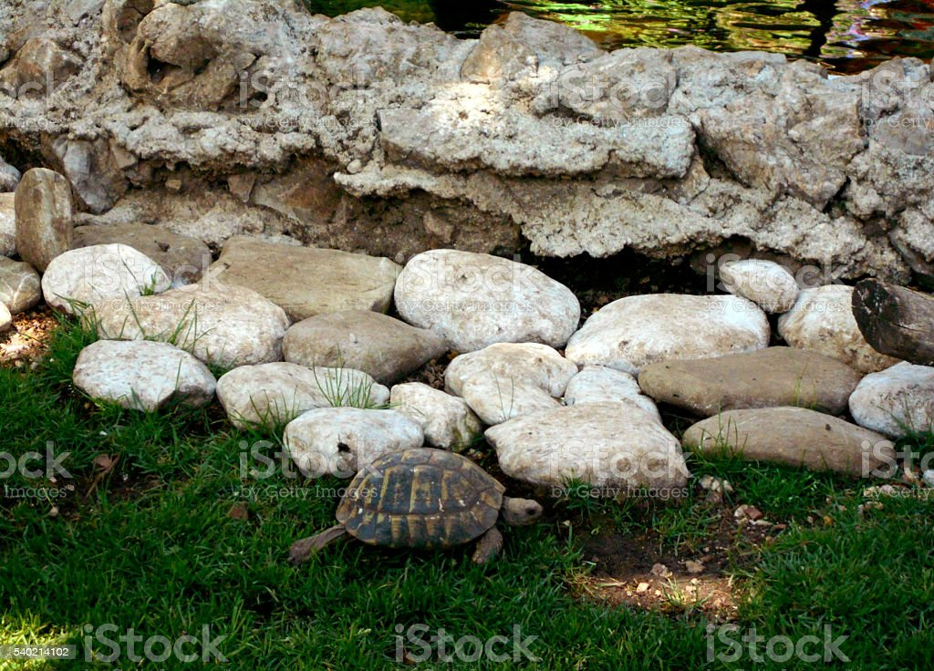 Turtle by the rocks stock photo