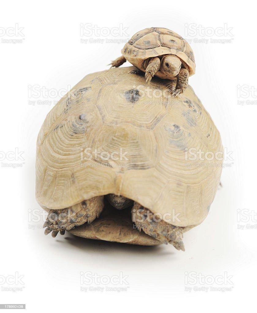 Turtle climber stock photo