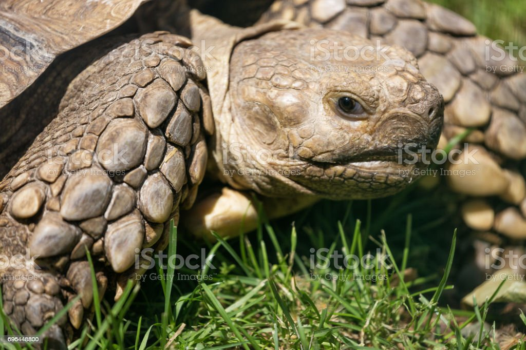 Turtle close up in the green grass stock photo