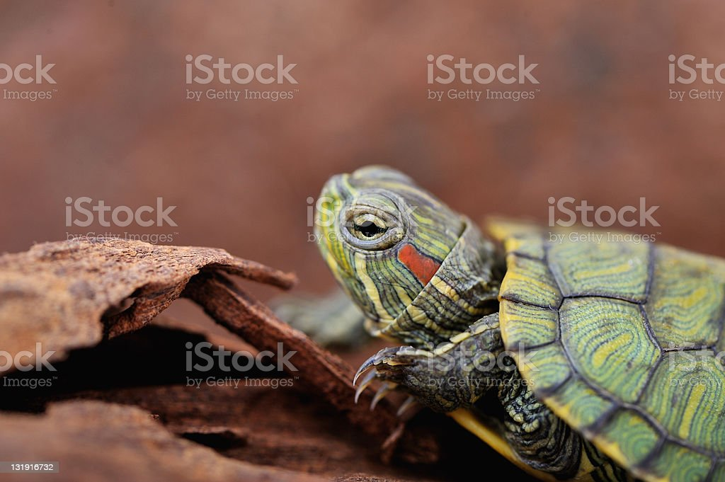turtle close up stock photo