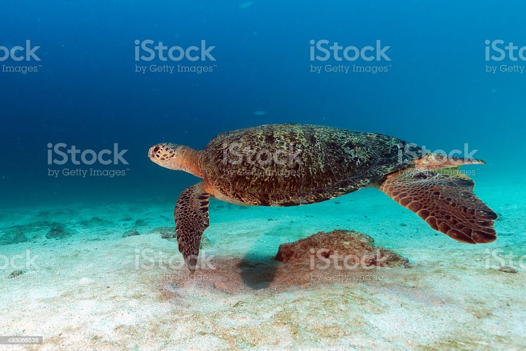turtle coming to you underwater stock photo