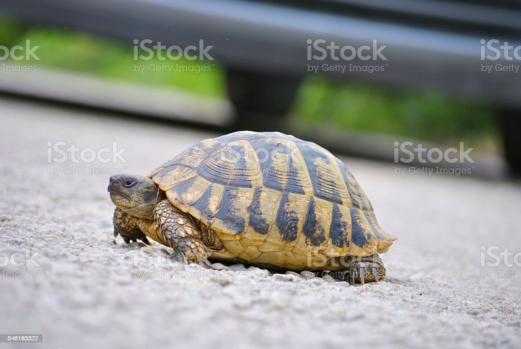 Turtle crawling across the road stock photo
