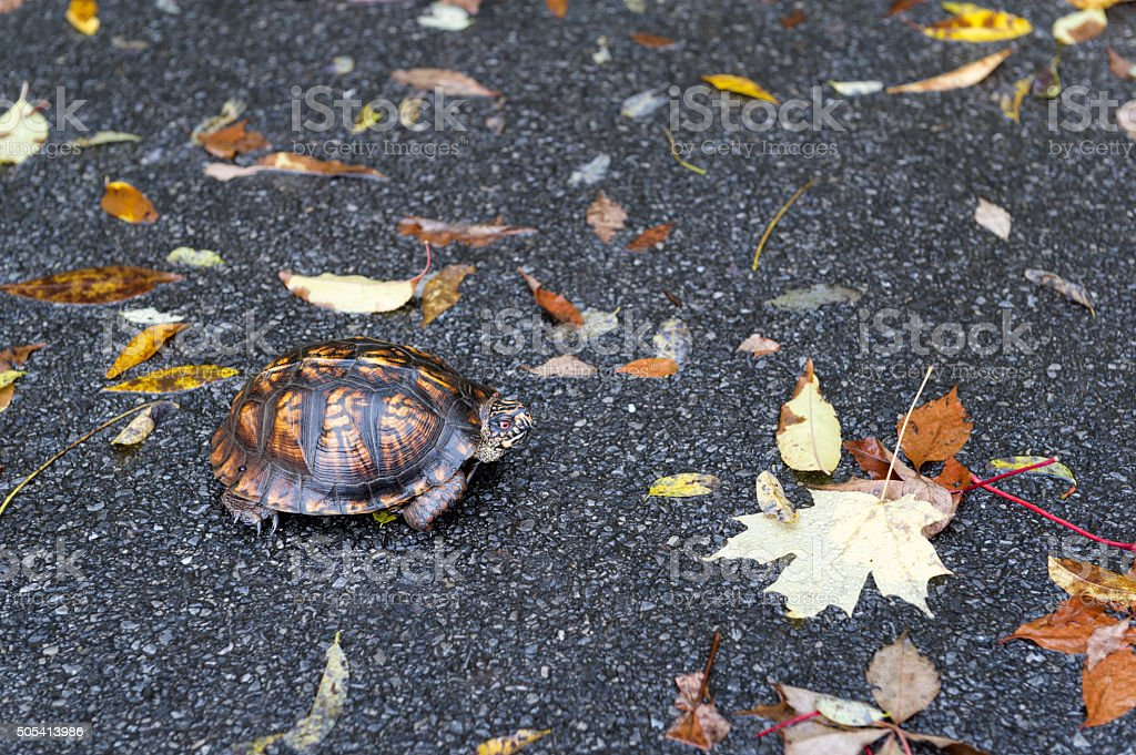 Turtle Crossing Road Close Up stock photo