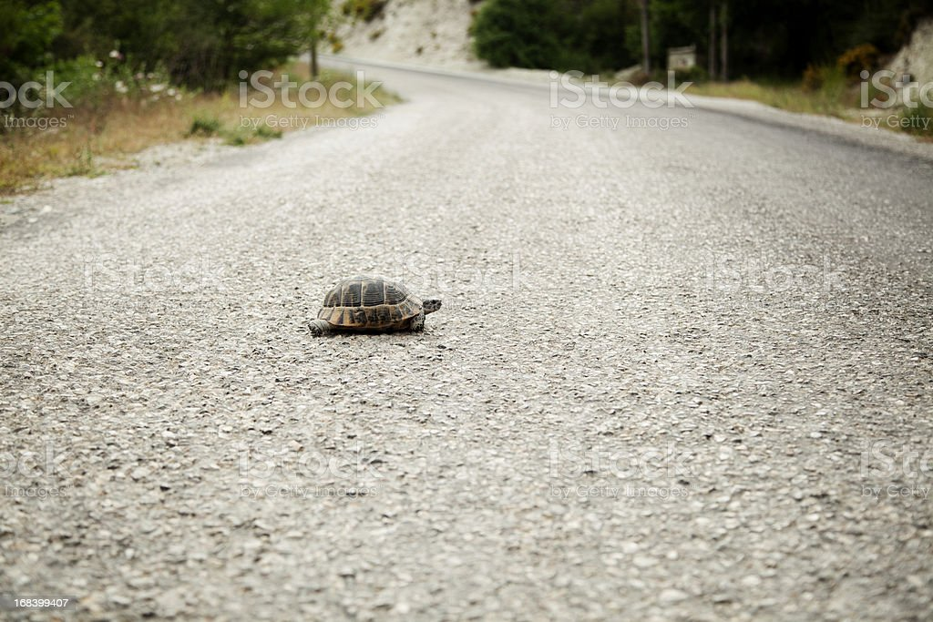 Turtle Crossing the Road stock photo