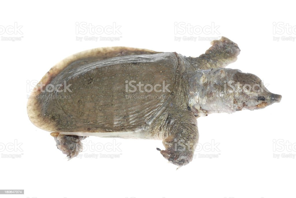 turtle dead of white spot disease stock photo