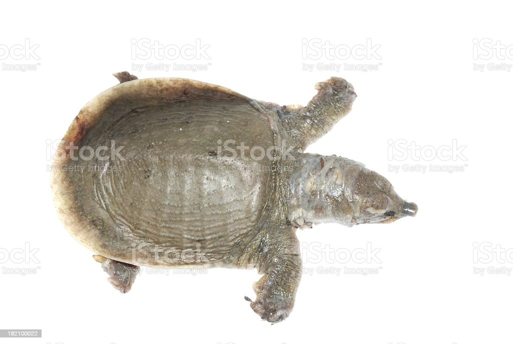 turtle dead of white spot disease royalty-free stock photo