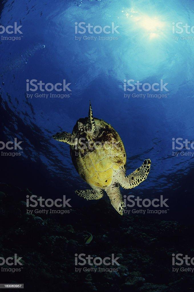 Turtle Dive stock photo