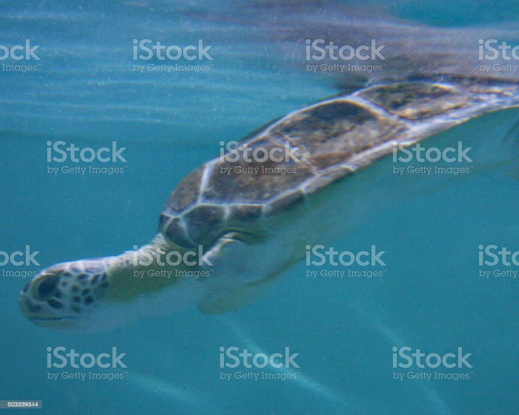 La plongée sous-marine de tortue photo libre de droits