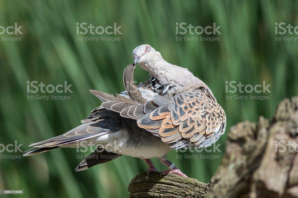 Turtle dove bird preening its wing feathers stock photo