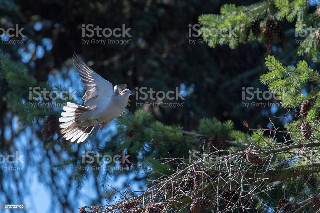 turtle dove bird while flying from pine tree nest stock photo