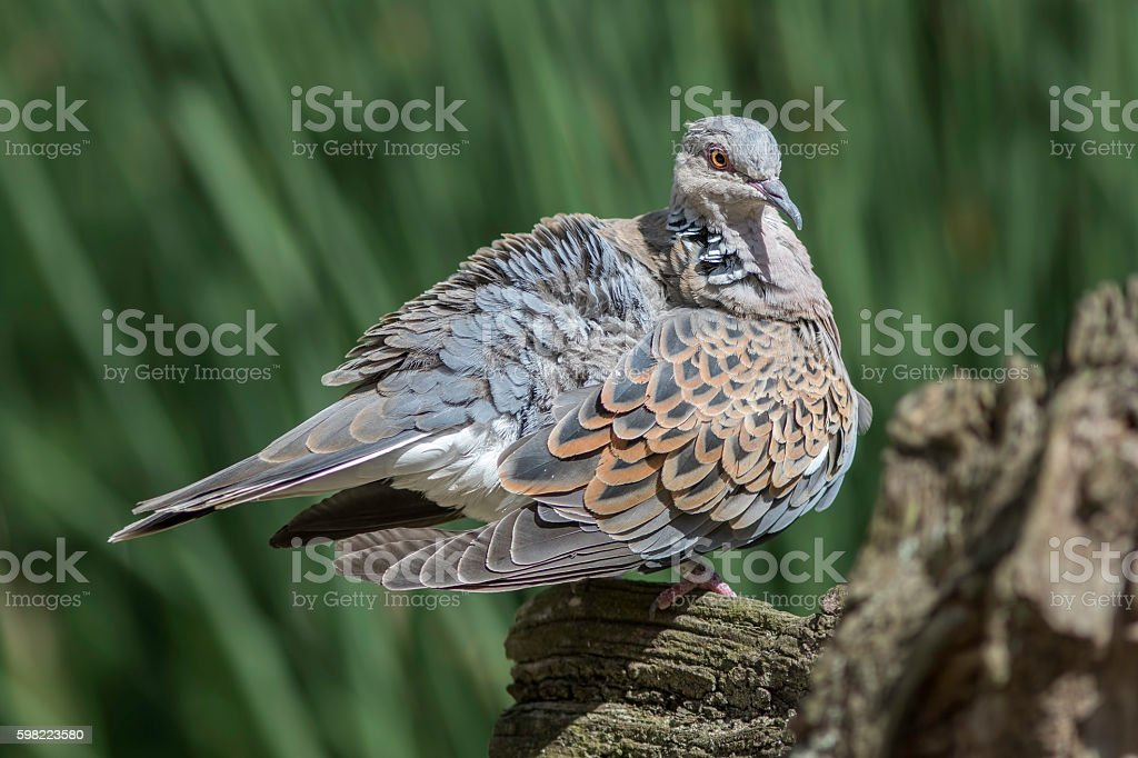 Turtle dove bird with ruffled feathers stock photo
