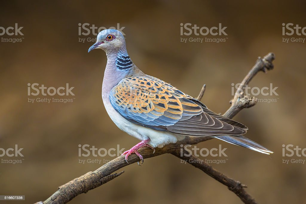 Turtle dove on branch stock photo