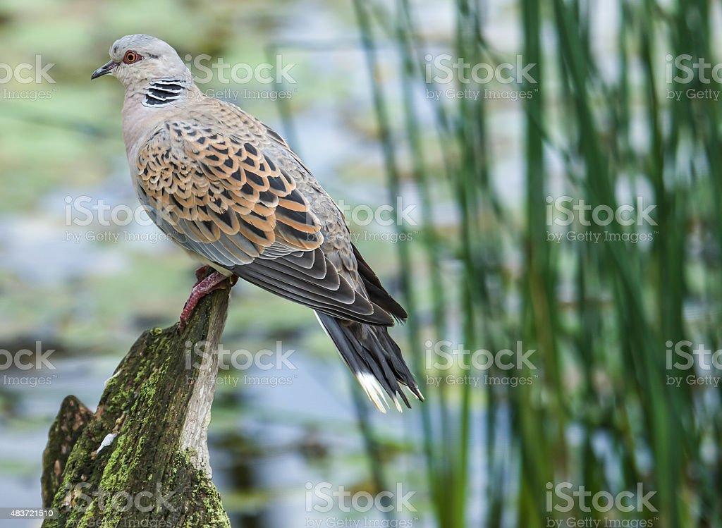 Turtle Dove stock photo