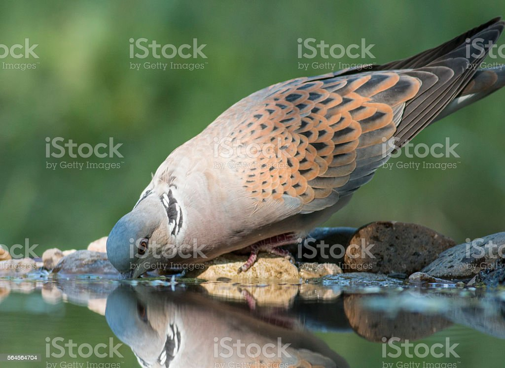 Turtle Dove (Streptopelia turtur) stock photo