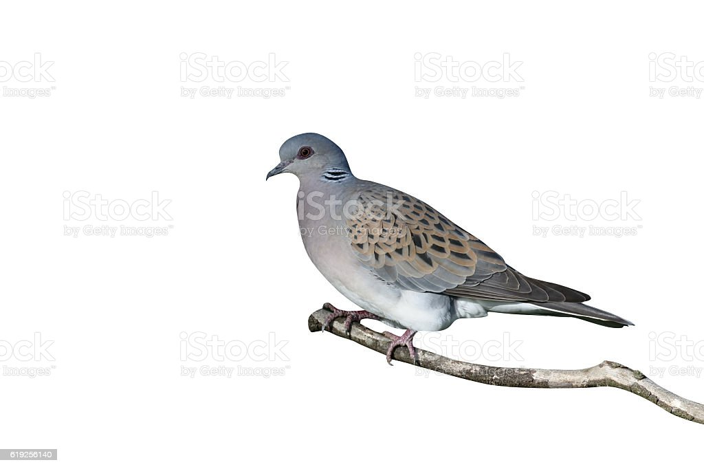 Turtle dove, Streptopelia turtur stock photo