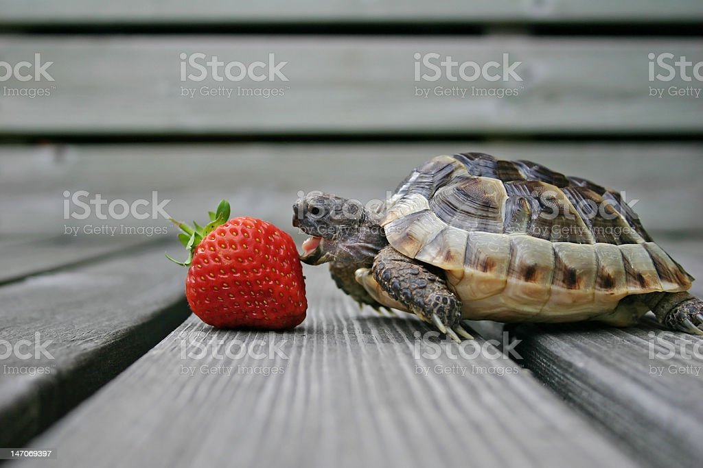 Turtle eating strawberry stock photo