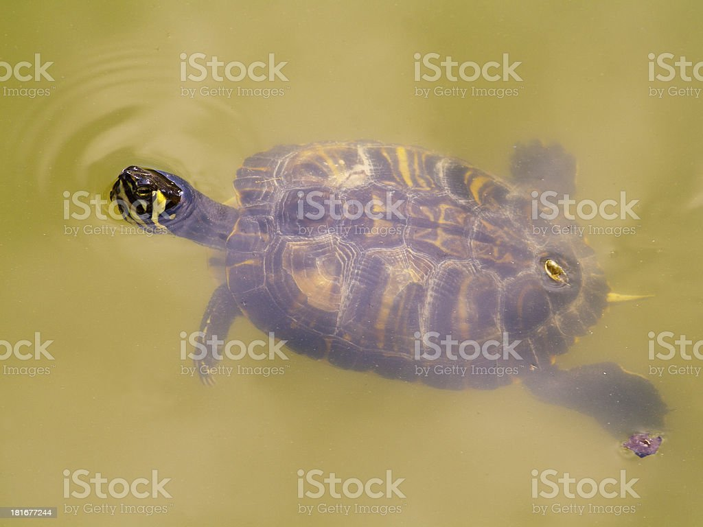 Turtle enjoying the clean Pond royalty-free stock photo