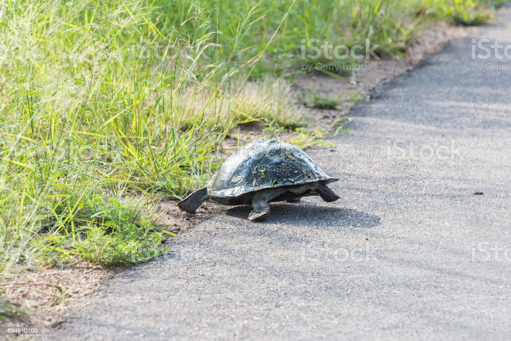 Turtle escaping from street inside Kruger National Park stock photo