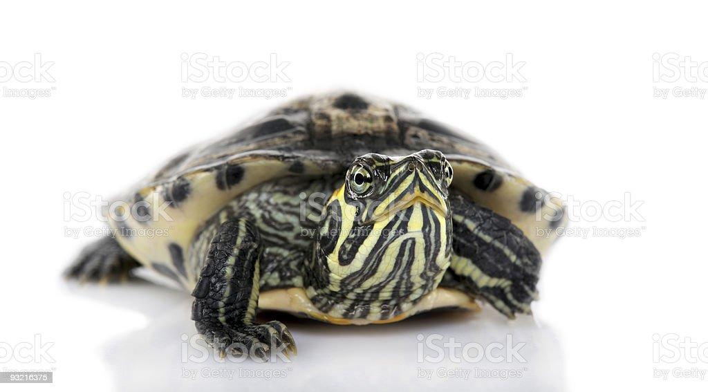 Turtle facing the camera - Acanthochelys stock photo