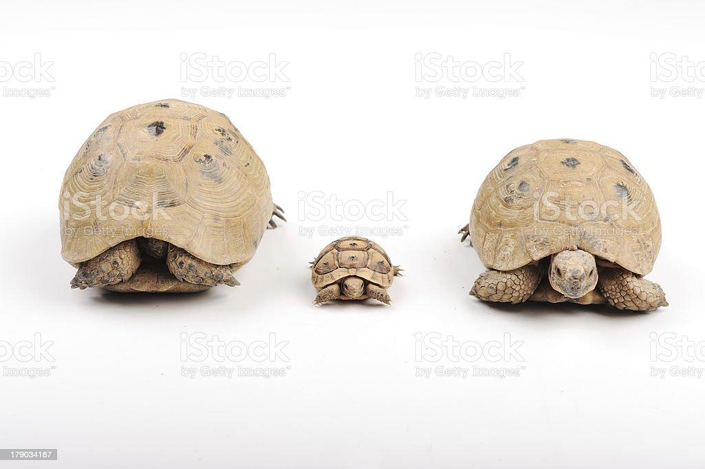 Turtle family royalty-free stock photo