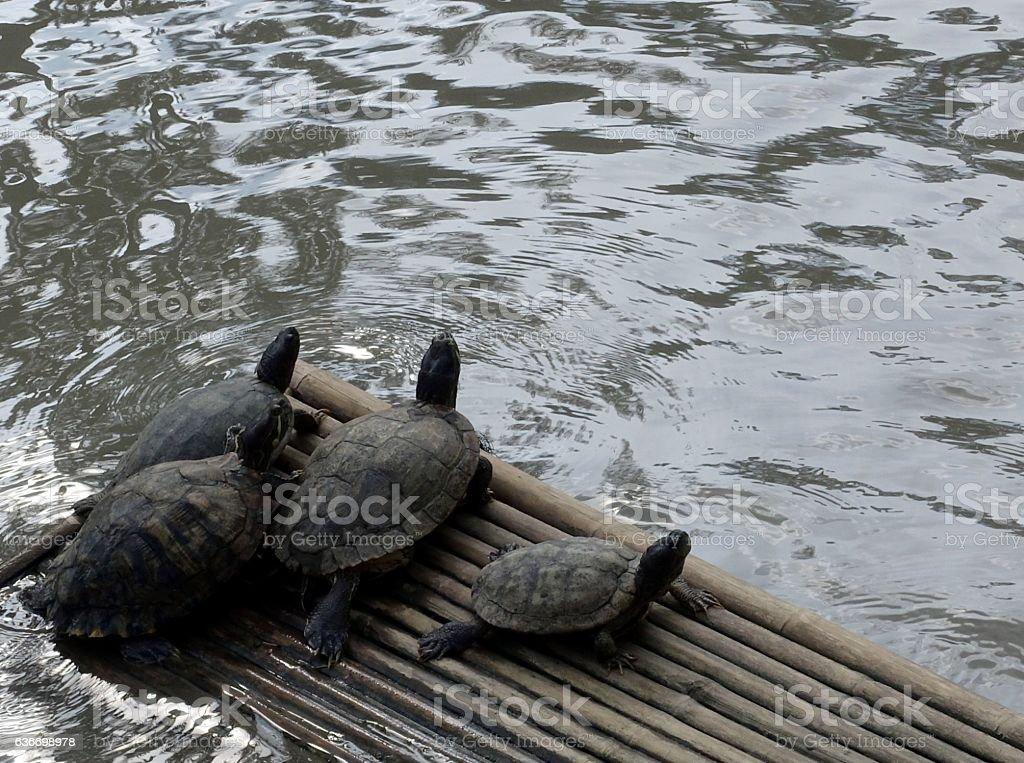 Turtle Family stock photo