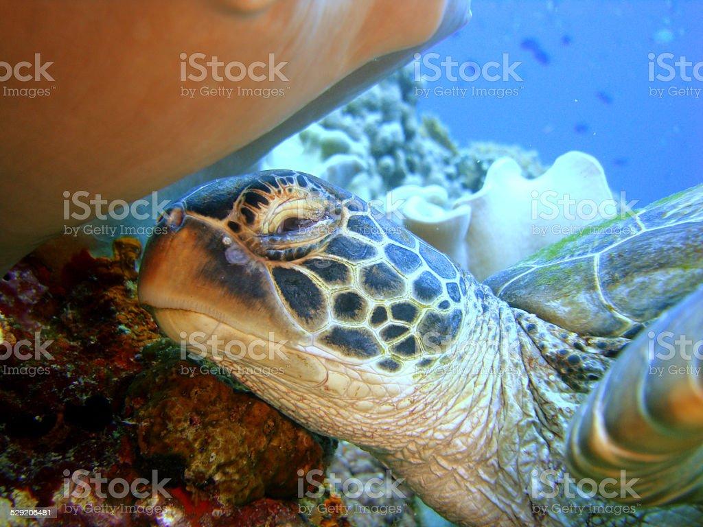 Caret (tortue, gros plan sur un récif de corail photo libre de droits