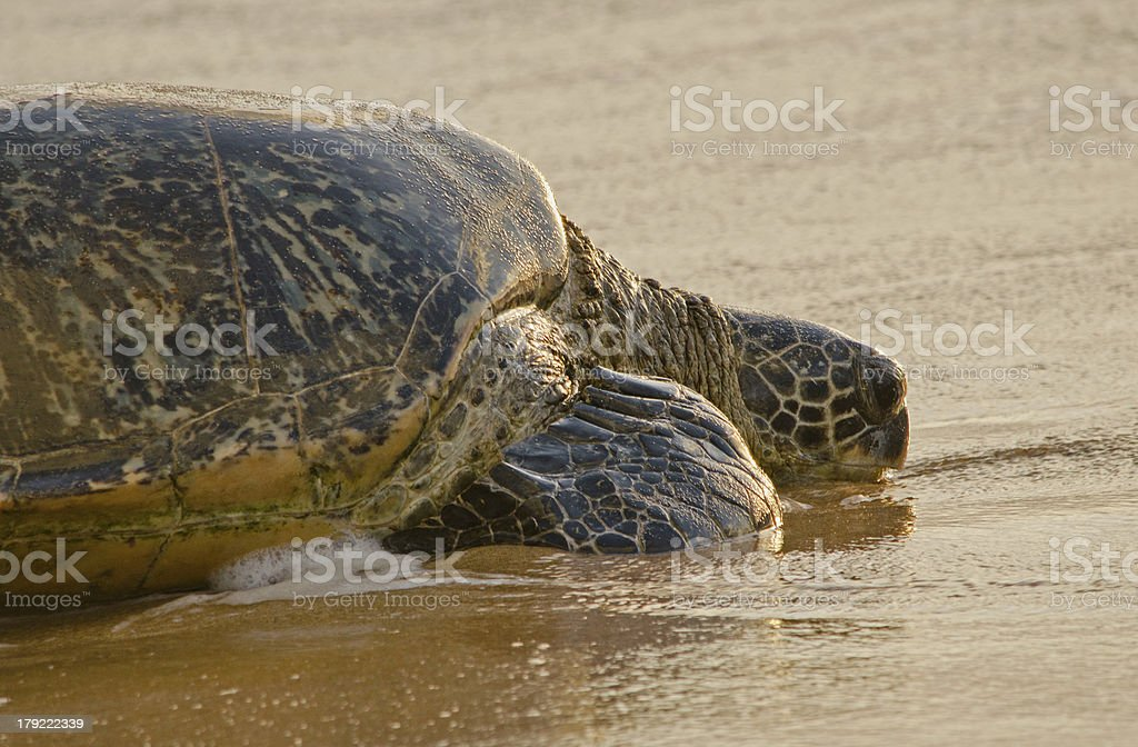 Turtle Heading out to Sea royalty-free stock photo