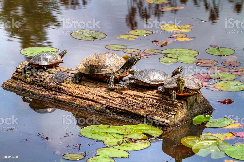 Turtle Heaven stock photo