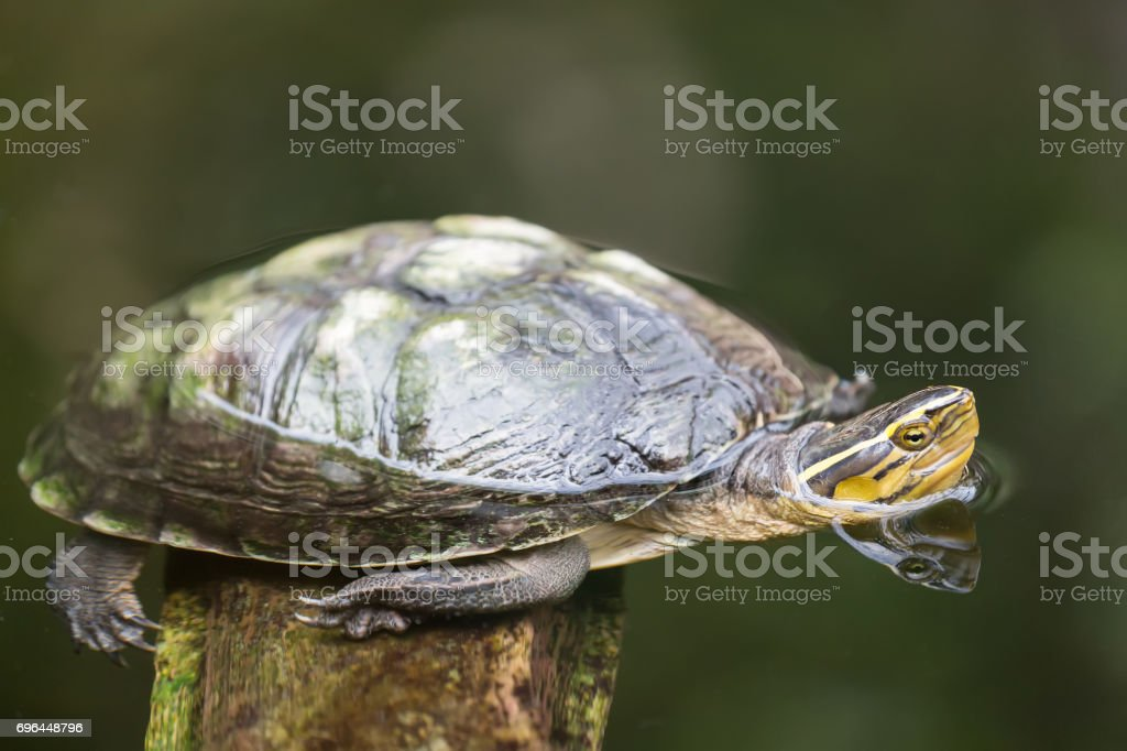Turtle image close up in the water stock photo