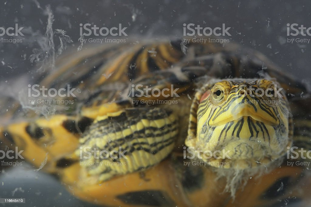 Turtle In Aquarium stock photo
