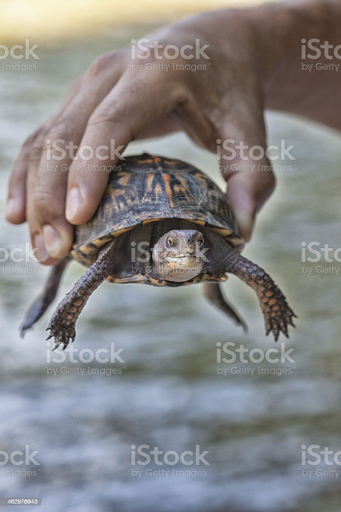 Turtle in Hand stock photo