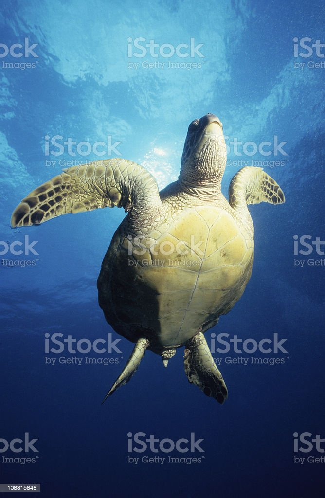 Turtle in Sun royalty-free stock photo