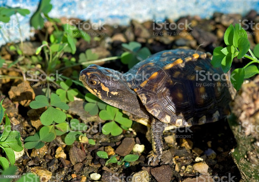 Turtle in the Clover royalty-free stock photo