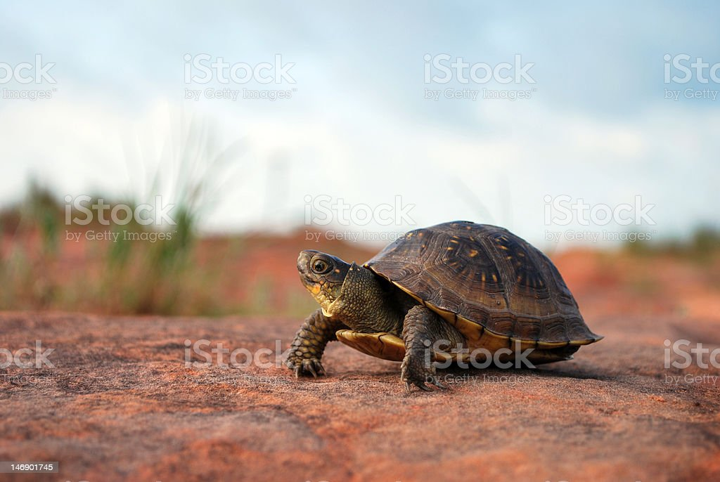 Turtle in the Desert. royalty-free stock photo