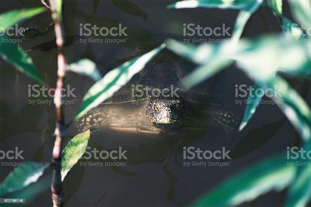 Turtle in the water,  their natural habitat. Astrakhan region, Russia stock photo