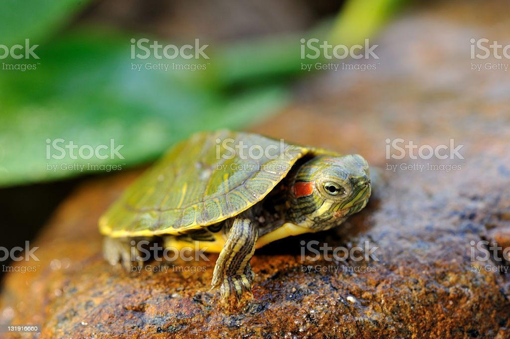 turtle in the wild royalty-free stock photo