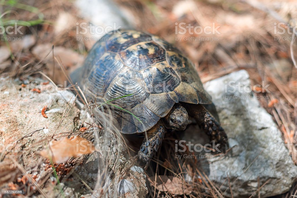 Turtle in Turkey, Asia Minor stock photo