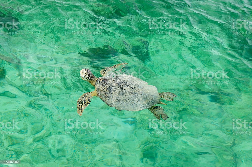 Turtle in turquoise water stock photo