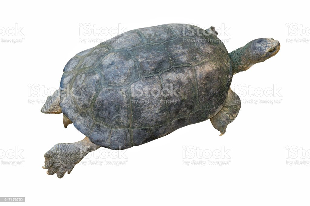 turtle isolated on white background, Clipping path stock photo