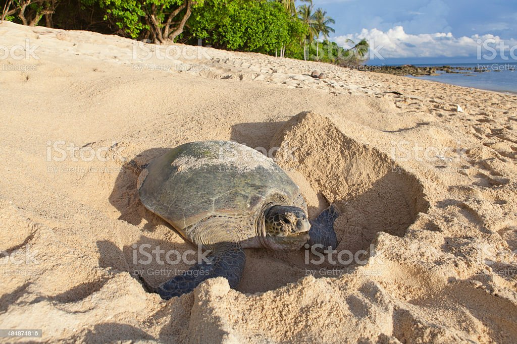 Turtle laying eggs on the beach. stock photo